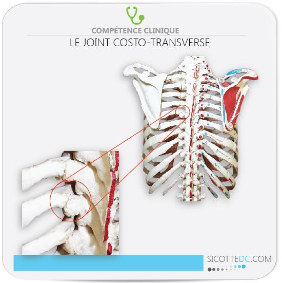 Régin anatomique du joint costo-transverse pour les douleurs dorsale.