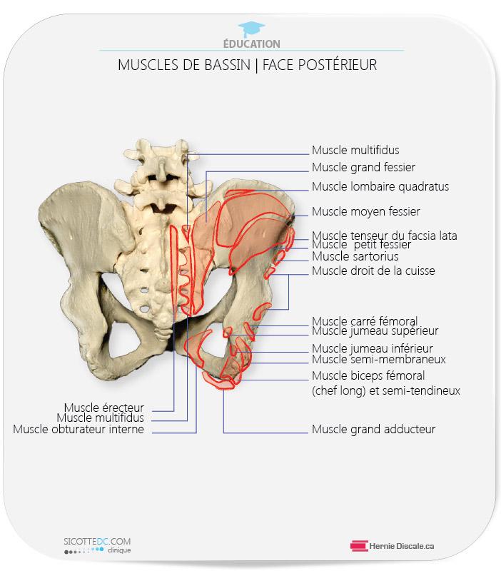 Muscles sacro-iliaque et bassin.